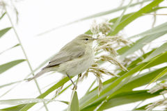 Chiffchaff / Phylloscopus collybita / Single bird on reed Stock Image