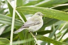 Chiffchaff / Phylloscopus collybita / Single bird on reed Royalty Free Stock Image