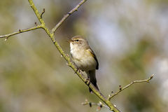 Chiffchaff, Phylloscopus collybita Royalty Free Stock Photos