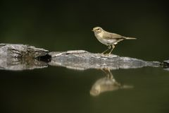 Chiffchaff, Phylloscopus collybita Stock Photos
