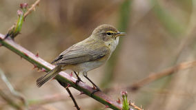 Chiffchaff - Phylloscopus collybita Royalty Free Stock Images