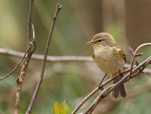 Chiffchaff - Phylloscopus collybita Royalty Free Stock Photography
