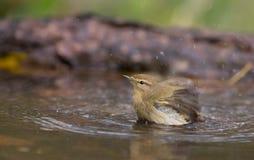 Chiffchaff prenant un bain Photographie stock libre de droits