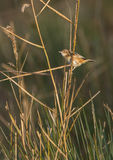 Zitting Cisticola on a reedbed Stock Photography