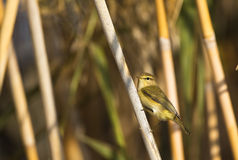 Chiffchaff on a Reed Royalty Free Stock Photography
