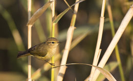 Chiffchaff on a Reed Royalty Free Stock Image