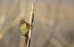 Chiffchaff on a Reed Stock Photos