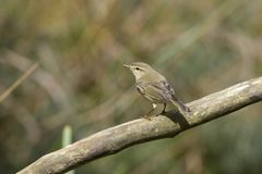 Chiffchaff sits on a branch. On the Kemper heide, Veluwe Stock Image