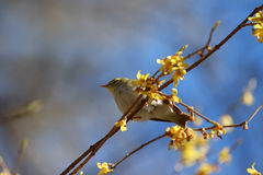 Chiffchaff  sitting on a branch forsythia. Stock Photography
