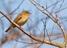 Chiffchaff in springtime Royalty Free Stock Photography