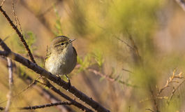 Chiffchaff on a Stem Royalty Free Stock Photos