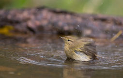 Chiffchaff taking a bath. A Chiffchaff (Phylloscopus collybita) takes a bath splashing with water in a shallow pool Royalty Free Stock Photography