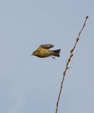 Chiffchaff taking off from branch Stock Images