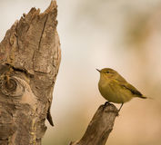 Chiffchaff on top of a branch Royalty Free Stock Photos