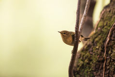 Chiffchaff on vertical branch Royalty Free Stock Photo