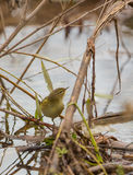 Chiffchaff at the water Stock Photos