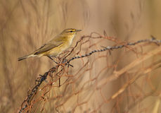 A Chiffchaff on the wire. A Chiffchaff (Phylloscopus collybita) stops it´s restless movement for just a second sitting on an old wire-mesh stock photo