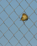 Chiffchaff on the wire Royalty Free Stock Photos