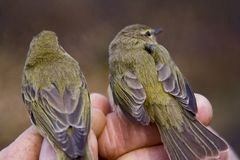 Chiffchaffs Royalty Free Stock Photos