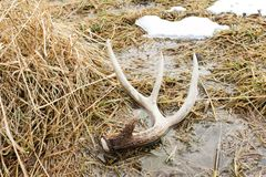 Chifre da vertente dos cervos de Whitetail na terra no pântano Foto de Stock
