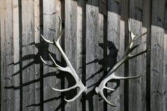 Chifre dos cervos Imagens de Stock Royalty Free