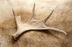 Chifre dos cervos do chifre imagens de stock royalty free