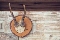 Chifres de cervos de ovas imagem de stock royalty free