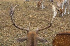 Chifres de um cervo na perspectiva de outros cervos Hadjidimovo, Bulgária fotografia de stock royalty free