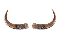 Chifres do búfalo no branco. Fotos de Stock Royalty Free