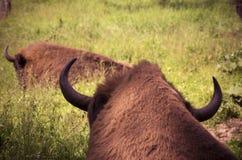 Chifres do bisonte imagens de stock