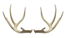 Chifres dos cervos Imagens de Stock Royalty Free
