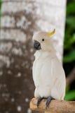 Chignon blanc de jaune de cacatoès sur le banch Image libre de droits