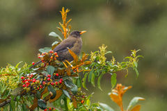 Chiguanco Thrush. A Banded Adult Chiguanco Thrush Perched On Top Of Bush With Foliage And Berries On A Rainy Day, Along The Road In Manú National Park And Royalty Free Stock Photos