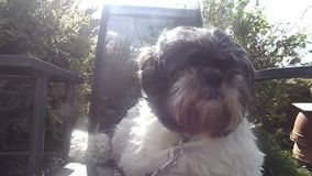 Chih-Tzu dog on garden chair stock video