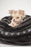 Chihuahua pup Stock Photos