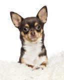 Chihuahua årig 1, Chihuahua, 2 gammala år Arkivbilder