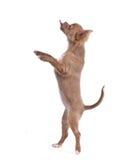 chihuahua łania iść na piechotę szczeniak pozycję Obraz Royalty Free
