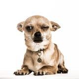 Chihuahua łgarski puszek z jeden okiem zamykał, odizolowywał, Obrazy Royalty Free