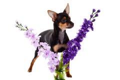 Chihuahua και λουλούδια σκυλιών που απομονώνονται στο άσπρο υπόβαθρο Στοκ Φωτογραφίες