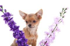 Chihuahua και λουλούδια σκυλιών που απομονώνονται στο άσπρο υπόβαθρο Στοκ φωτογραφίες με δικαίωμα ελεύθερης χρήσης