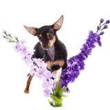 Chihuahua και λουλούδια σκυλιών που απομονώνονται στο άσπρο υπόβαθρο Στοκ Φωτογραφία