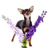 Chihuahua και λουλούδια σκυλιών που απομονώνονται στο άσπρο υπόβαθρο Στοκ φωτογραφία με δικαίωμα ελεύθερης χρήσης