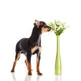 Chihuahua και λουλούδια σκυλιών που απομονώνονται στο άσπρο υπόβαθρο Στοκ εικόνες με δικαίωμα ελεύθερης χρήσης