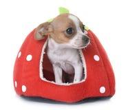 Chihuahua κουταβιών στο στούντιο Στοκ φωτογραφία με δικαίωμα ελεύθερης χρήσης