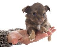 Chihuahua κουταβιών στοκ εικόνες