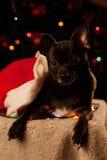 Chihuahua με τη γιρλάντα Χριστουγέννων Στοκ εικόνα με δικαίωμα ελεύθερης χρήσης