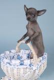 Chihuahua με το ολλανδικό μπλε Στοκ Εικόνες