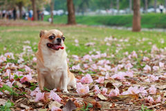 Chihuahua, μικρό σκυλί στοκ εικόνα με δικαίωμα ελεύθερης χρήσης