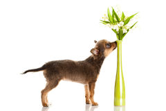 Chihuahua που απομονώνεται στην άσπρη δημιουργική εργασία κατοικίδιων ζώων σκυλιών υποβάθρου Στοκ φωτογραφία με δικαίωμα ελεύθερης χρήσης