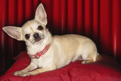 Chihuahua που βρίσκεται στο κόκκινο μαξιλάρι Στοκ Φωτογραφίες